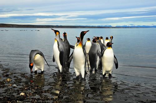 Ακρωτήριο Χορν (Γή του Πυρός): Βασιλικοί πιγκουίνοι στην παραλία στο νησί της Γης Του Πυρός. Χιλή.