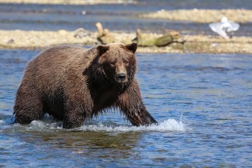 Ανκορέϊτζ - Γουίττιε ( Αλάσκα ): Καφέ Αρκούδα 'ψαρεύει' σολωμούς. Ανκορέϊτζ. Γουϊτιέ. Αλάσκα. ΗΠΑ.