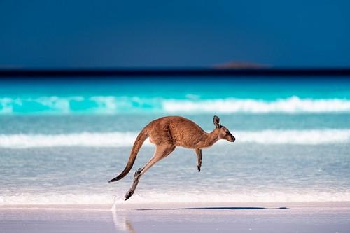 Έρλι Μπιτς: Καγκουρό με το άλμα στην άμμο κοντά στο κύμα στην παραλία Lucky Bay, Εθνικό Πάρκο Cape Le Grand, Esperance, Δυτική Αυστραλία.