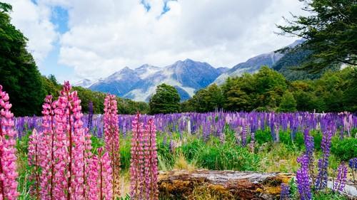 Εθνικό Πάρκο Φιόρδλαντ: Λουλούδι λούπινου στο εθνικό πάρκο Φιόρδλανδ. Νέα Ζηλανδία.