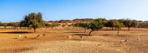 Νησί Σερ Μπανί Γιας: Πανοραμική θέα στο πάρκο σαφάρι στο νησί Sir Bani Jas με αντιλόπες. Ηνωμένα Αραβικά Εμιράτα.