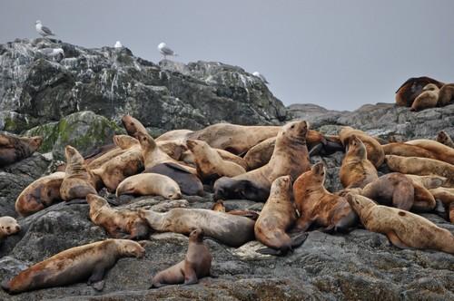 Νησιά Ίνιαν ( Αλάσκα ): Θαλάσσια λιοντάρια κοντά στα νησιά Ίνιαν στη νοτιοανατολική Αλάσκα. ΗΠΑ
