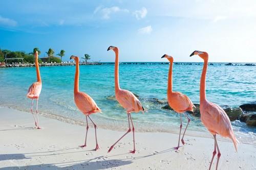 """Όραντζσταντ : """"Περίπατος"""" των ροζ φλαμίνγκος στην πανέμορφη παραλία του Όραντζσταντ. Αρούμπα."""