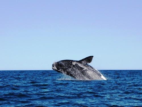 Πουέρτο Μαντρίν: Φάλαινα παίζει με τα κρύα νερά του Πουέρτο Μαντρίν. Αργεντινή.