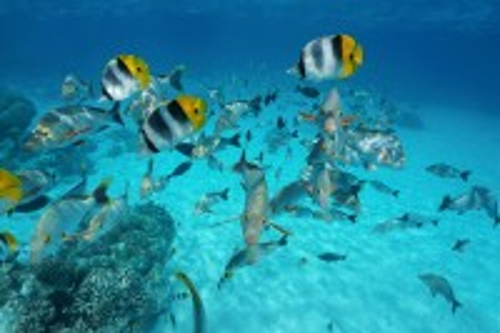 Ρανγκιρόα: Υποβρύχια φωτογραφία. Τροπικό κοπάδι ψαριού πεταλούδας με λυθρίνια. Ρανγκιρόα. Γαλλική Πολυνησία.
