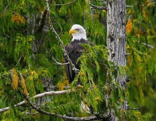 Ρούντγιερντ Μπέϊ - Μίστι Φιορδ ( Αλάσκα ): Λευκοκέφαλος Θαλασσαετός. Εθνικό μνημείο αγριότητας.Μίστι φιορδ. Αλάσκα. ΗΠΑ.