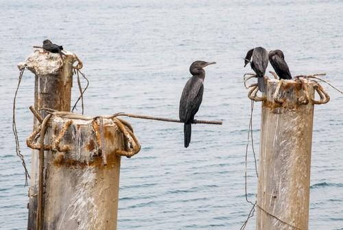 Σαν Μαρτέν (Πίσκο): Αποικία κορμοράνων στο λιμάνι Σαν Μαρτέν Πίσκο. Περού.